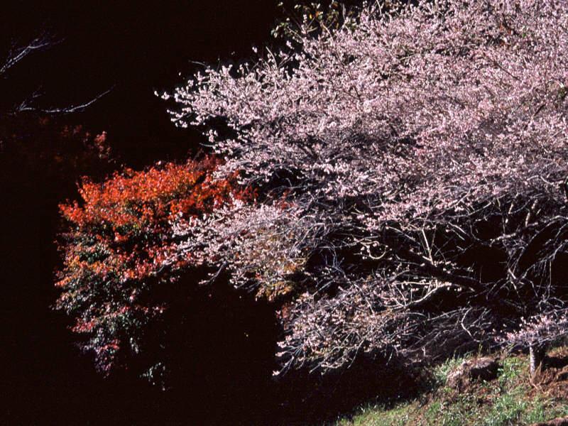 shikizakura-11.jpg